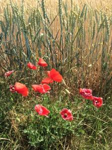 Blume, Klatschmohn, Nahrung, Farbe, Landscape, Gruss